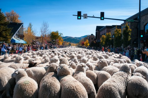 Sheep are trailed down Main Street in Ketchum during the festival.